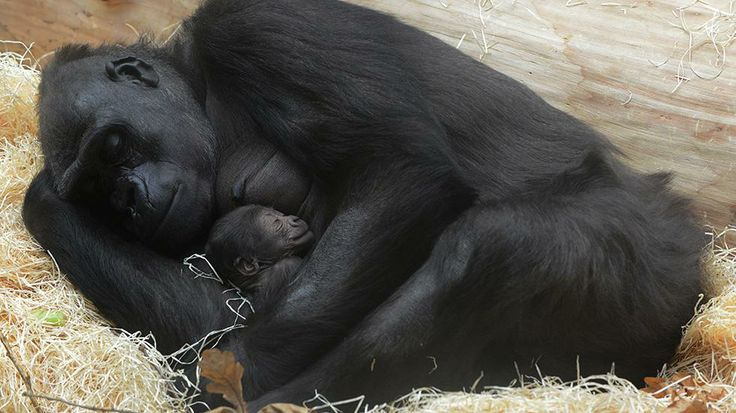 Kijivu, a western lowland gorilla, holds her two days old baby as they rest at the Zoo in Prague, Dec. 24, 2012. (AFP/Getty Images)