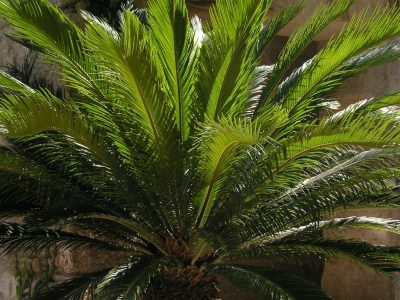 Sago Palm Watering – How Much Water Do Sago Palms Need Despite the name, sago palms are not actually palm trees. So unlike most palms, sagos can suffer if watered too much. That being said, they might need more water than your climate is going to give them. Learn about water requirements for sago palm in this article.