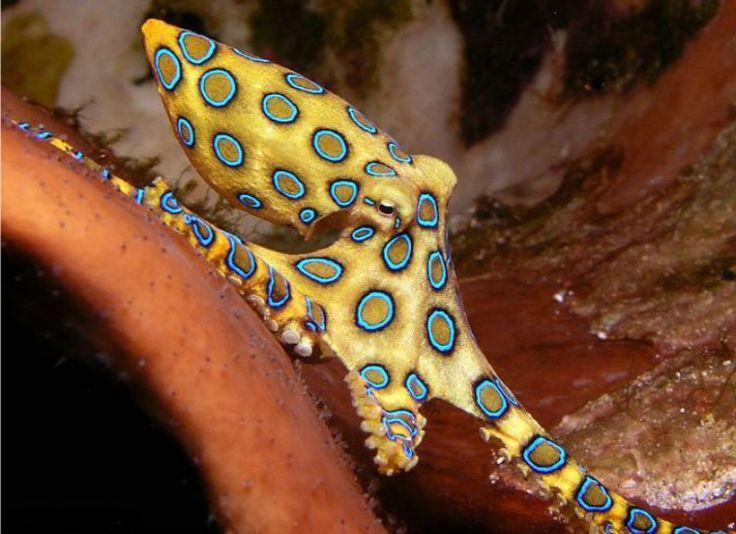 Blue ringed octopus eyes