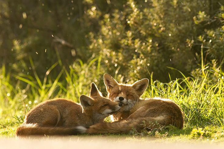 Les renards sont vraiment les animaux les plus mignons du monde ! La preuve en 21 merveilleuses photos