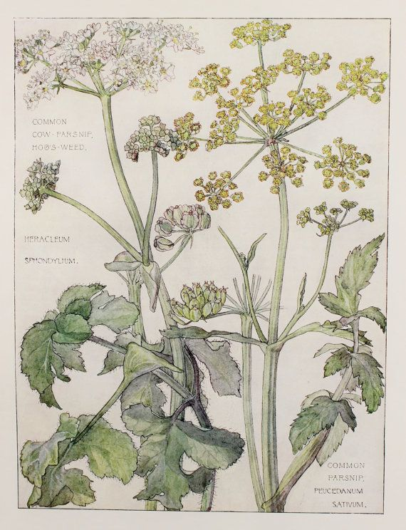 1910 Botanical Print by H. Isabel Adams: Parsley Family, Common Parsnip  Cow Parsnip