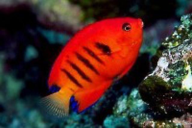Reef Safe Fish for Saltwater Aquariums: Angelfish (Centropyge)