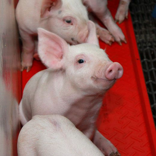 37 best From Pigs to Pork at Seaboard Foods images on Pinterest