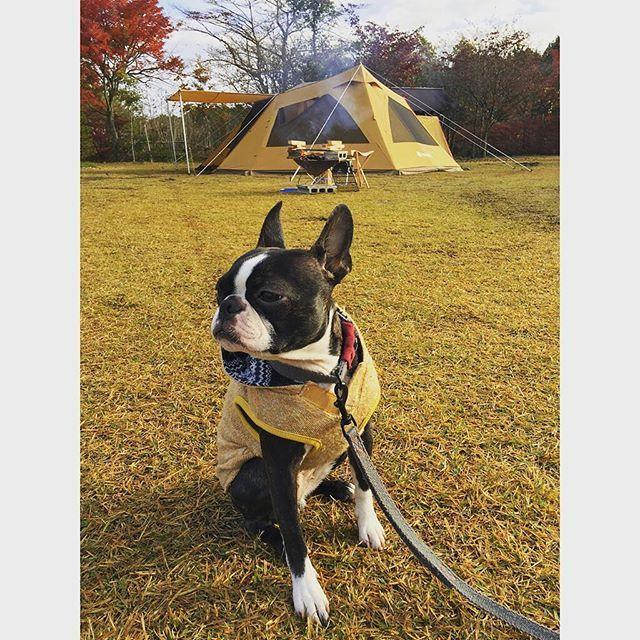 はっぴー、リードあんまり好きじゃないんだよなぁ〜  昨日から一泊で紅葉キャンプ🍁🍂 目を細めちゃって眠いのか遠くの見てるのか。。 機嫌が悪いのかな?😂😂 ・ ・ #ランドベース 快適に過ごせたよ 富士山も紅葉もキレイだった #はっぴーキャンプ #キャンプ犬はぴたん ・ ・ #キャンプ#キャンプ犬#アウトドア #ボストンテリア#ブヒ#いぬ#犬#犬バカ部#スノーピーク#愛犬#秋#snowpeak#dogs#dog#pets#petstagram#bostonterrier #instadog#camp#camper#outdoors #instadog #Japan#camping#autumn