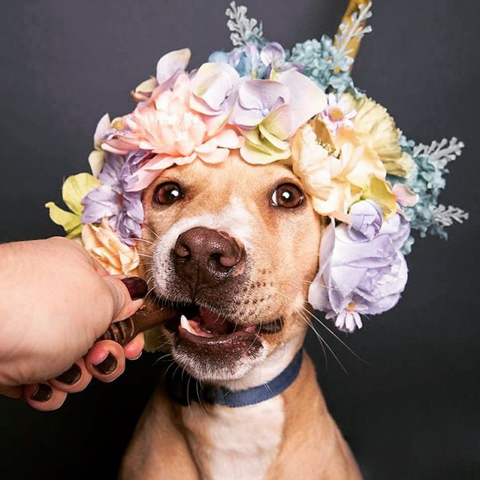 Submission to 'Pit-bull-adoption-flower-power-sophie-gamand'