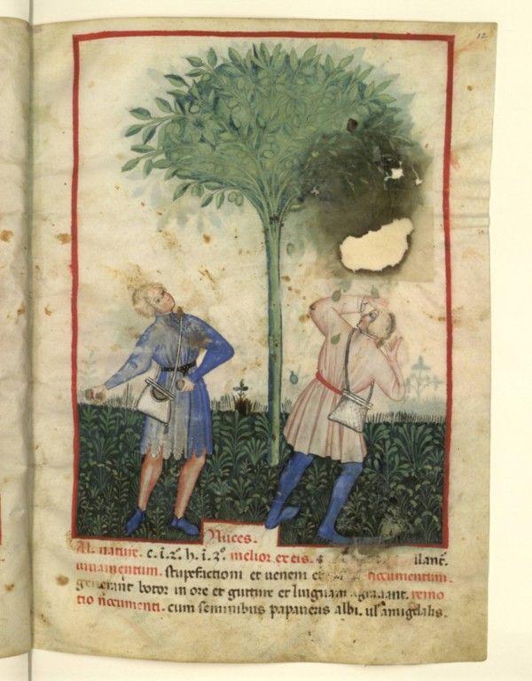 Nouvelle acquisition latine 1673, fol. 12, Récolte des noix. Tacuinum sanitatis, Milano or Pavie (Italy), 1390-1400. Keywords: miparti, bag, purse