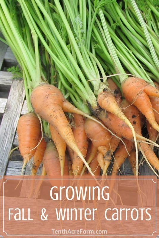 Carrots are one of those vegetables that you can never have enough of. After…
