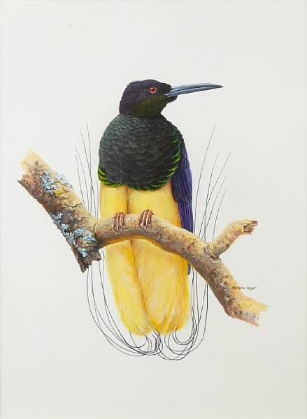 Twelve-wired bird-of-paradise (Works on Paper by Jeremy T. Boot)