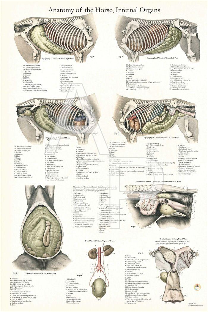 Dog Internal Anatomy Poster 24 X 36 Wiring Diagram