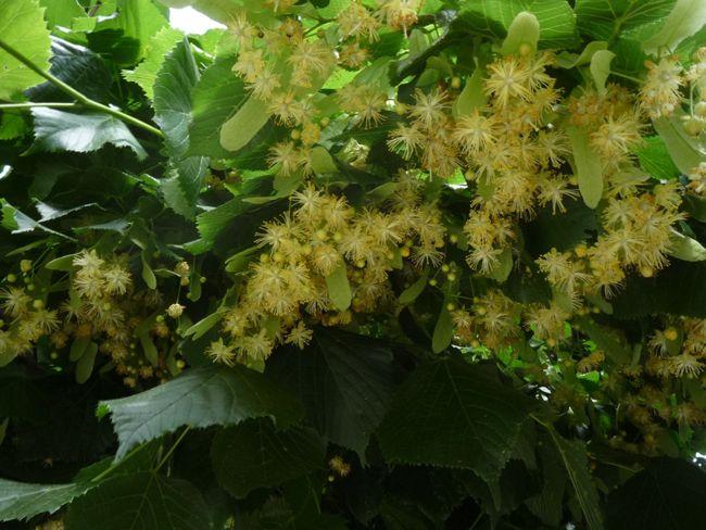 hársfavirág, nagylevelű hárs