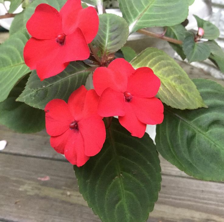 Red Impatiens Grown From Seed! It took 12 long weeks to see the 1st #redflower #redflowers #red #impatiens but it was well worth the wait! We #sowedseed #sowedseeds in #container #containers #containergarden #containergardens #containergardening #containergardener To learn how 2 #grow Impatiens from #seed #seeds visit ... #garden #gardens #gardening #gardeningtips #gardeningtipsforbeginners #beginnergardener #beginnergardening #shade #shady #shadegarden #shadegardens #shadegardening…