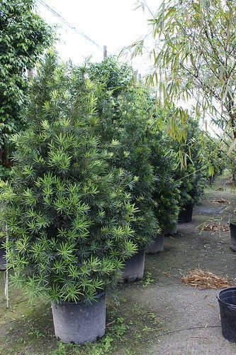 Podocarpus macrophyllus var. Maki.   Sun to shade; well-drained soil; does not tolerate wet sites.  Drought tolerant; use as specimen, hedge or screen; 'Maki' is a slower growing version of the species, reaching only 8-10 ft. in height, 3-5 ft. wide.  Very useful!  Easily kept pruned.
