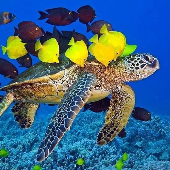 Sea turtle at the cleaning station