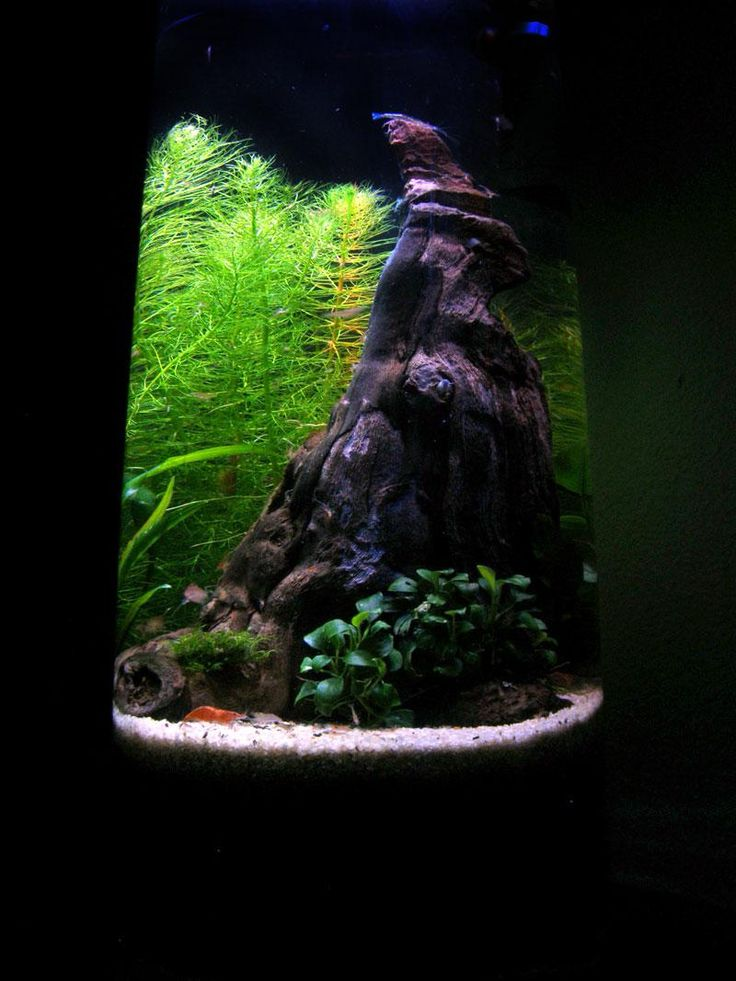 4 gallon cylindrical nano forest new pics 10 18 for Cylindrical fish tank