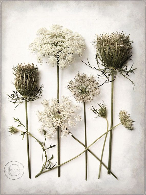 "Queen Anne's Lace Flower Print 9"" X 12"" Fine Art Photography, Botanical Print, Wildflower, A Queen's Life. $27.00, via Etsy."