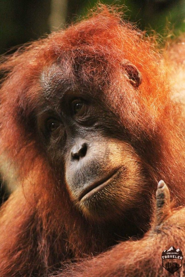 Travel to Bukit Lawang in Sumatra, Indonesia and see Orangutan, the great ape, you can get very close up with them in their natural habitat.