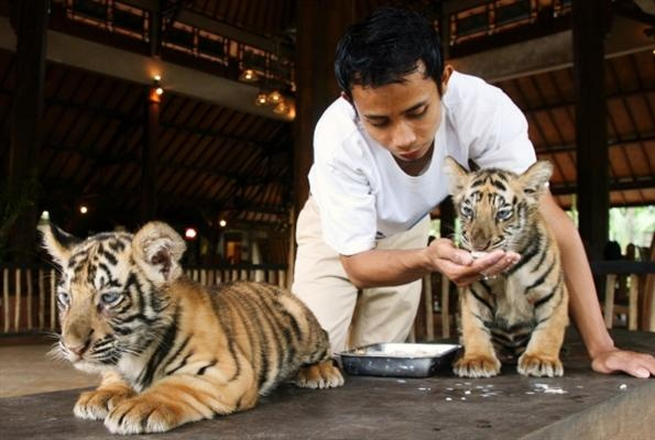 A zookeeper feeds a two-month-old Bengal tiger cub at the Bali Zoo in Gianyar, Indonesia's Bali province December 19. Two cubs were born on October 30, raising the total number of Bengal tigers at the zoo to 12.