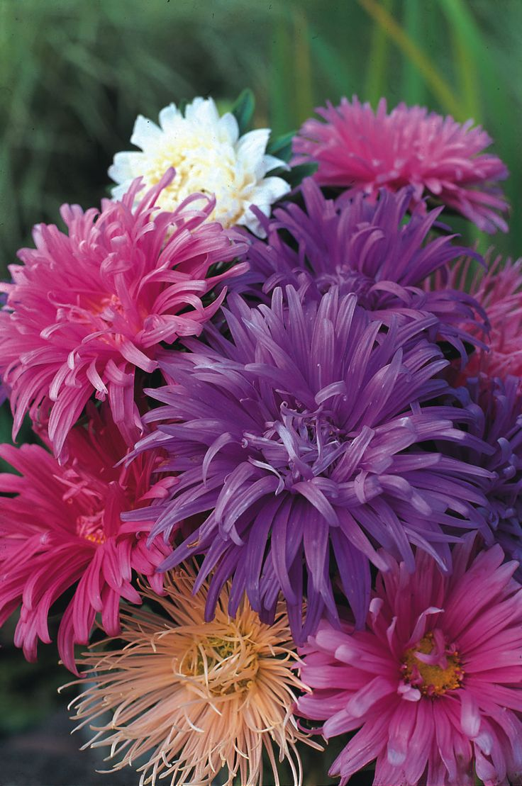 """Aster 'Ostrich Plume Mixed' - A gorgeous blend of colours and textures. Height 18""""."""