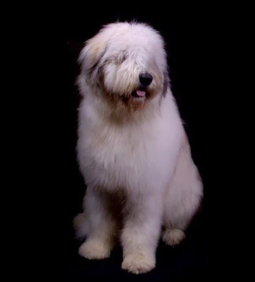 Mioritic romanian shepherd dog.