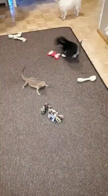 New pup meets the lizard first time..!!
