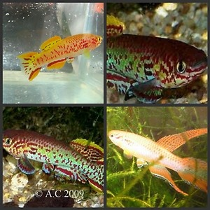 Killifish eggs 3 species 30 eggs tropical fish for Koi fish eggs for sale