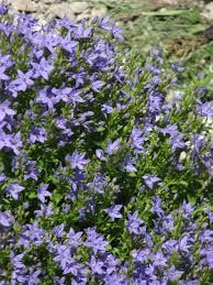 Image result for campanula portenschlagiana