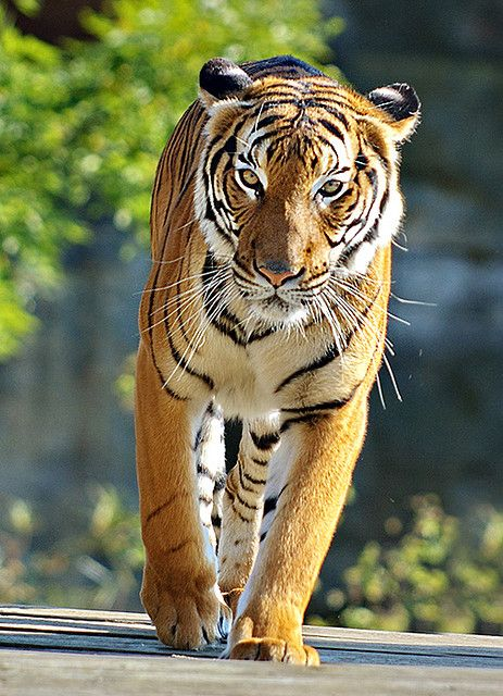 ~~Bengal Tiger by Edgar Barany~~