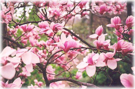 Magnolia- The Top Trees for Small Gardens | The Garden Glove