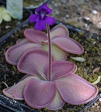 Pinguicula rectifolia - an insect-eating, succulent plant from Mexico.