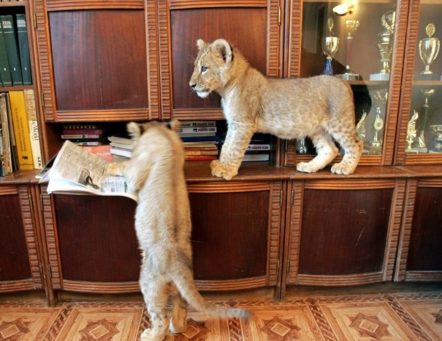 Two lion cubs play on top of furniture in a domestic house in Kharkov some 450 km (279.4 miles) northeast of Kiev December 15, 2005.
