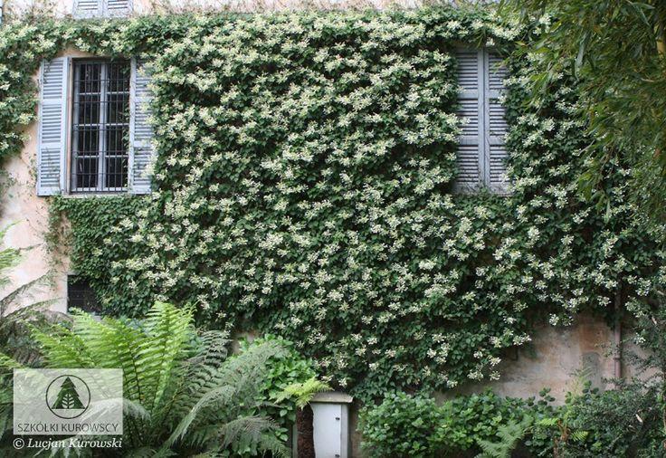 Hydrangea anomala subsp petiolaris up to 60 ft aerial - Hydrangea petiolaris ...