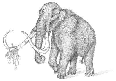 Mammuthus trogontherii  //tekening van Ko Sturkop