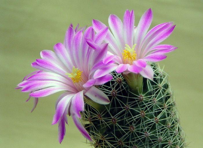 Kvitnúca Mammillaria napina v zbierke - ďaleko od krásky z prírody. Je to skutočne krásna mamilária a stojí zato ju mať vo svojej zbierke.