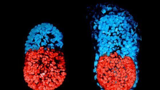 Un team di ricercatori di Cambridge è riuscito a far sviluppare in provetta delle staminali embrionali fino a produrre un agglomerato molto simile ad un embrione. La scoperta potrebbe aiutare a studiare una delle fasi più critiche della gravidanza, senza fare ricorso ad embrioni umani