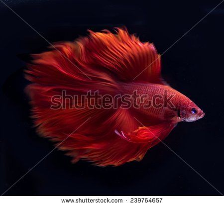 Gratis afbeelding op Pixabay - Rode Vis, Vis Zwerm, Zwerm, Vis