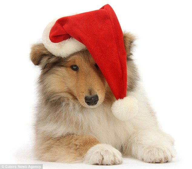 The cute Christmas pictures that will melt even the coldest heart: Adorable snaps of kittens, puppies, and lambs in festive hats  Photographer Mark Taylor, from Guildford, has earned himself the title 'Master of Cuteness' for snaps like these  He follows in the footsteps of his renowned photographer mother Jane Burton who passed away in 2007