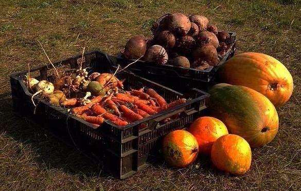 ОБЯЗАТЕЛЬНО СОХРАНИТЕ— пригодится в хозяйстве. 1. Чтобы выросли корнеплоды-великаны Чтобы вырастить крупные корнеплоды (морковь, свеклу и т. д.), можно использовать следующий нетрадиционный способ посадки. Железным ломиком сделать в земле дырочки глубиной 30— 40 см. Каждую дырочку заполнить перегнойно-зольной смесью, слегка полить, положить 2— 3 семечки, чуть засыпать землей. Место посадки пометить колышком. В остальном [...]