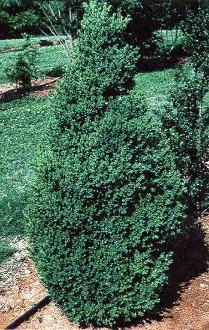 Vigorous growing boxwood when young. Dense upright form with bright green leaves that retain their color through winter. Natural cone shaped...