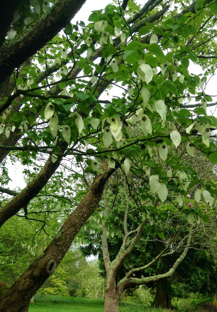 Handkerchief tree in the grounds of Killerton House, Exeter - May 2016