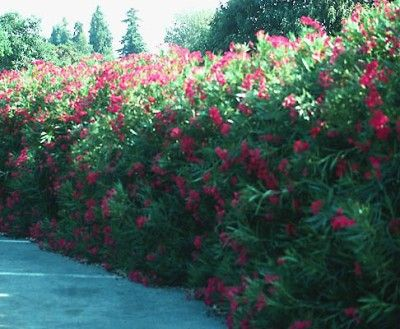 Oleander! Of course. How did I forget about it as a screening shrub?