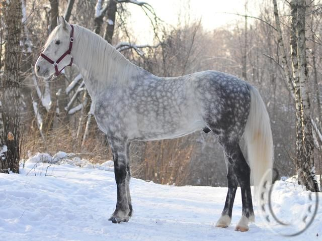 Horses for sale - Trotteur Francais / Lithuanian Heavy Draft Horse Russia Dressage For sale chudnyj