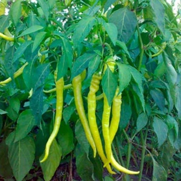 Ardeiul Iute CHORBADJINSKI face parte din familia ardeilor lungi.Planta cu port de 40-50 cm foarte productiva,recomandata pentru culturile de primavara si toamna.Temperatura optima de germinatie a semintelor de Ardei CHORBADJINSKI este de 18-25º.  http://www.pestre.ro/seminte-ardei-iute-chorbadjinski_357