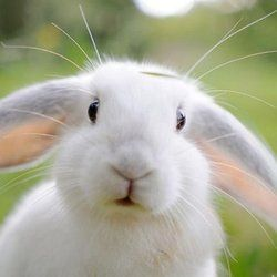 Everything to do with rabbits. Raising & butchering Meat Rabbits, Rabbits For Sale, Bunny Rabbits as pets, Rabbit Cages, supplies, toys, clothing. https://www.yelp.com/biz/penryn-rabbit-farm-penryn #rabbitcages #bunnyrabbit #rabbitsforsale #cutebunny #rabbitcare