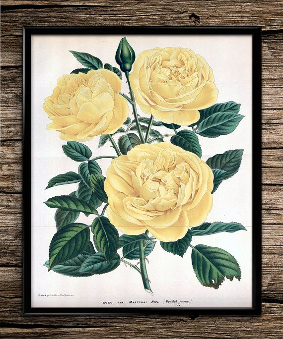 Yellow Rose | Vintage Prints | Botanical Prints | Home Decor | Office Decor | Printable Wall Art | Vintage Wall Art | Instant Download |
