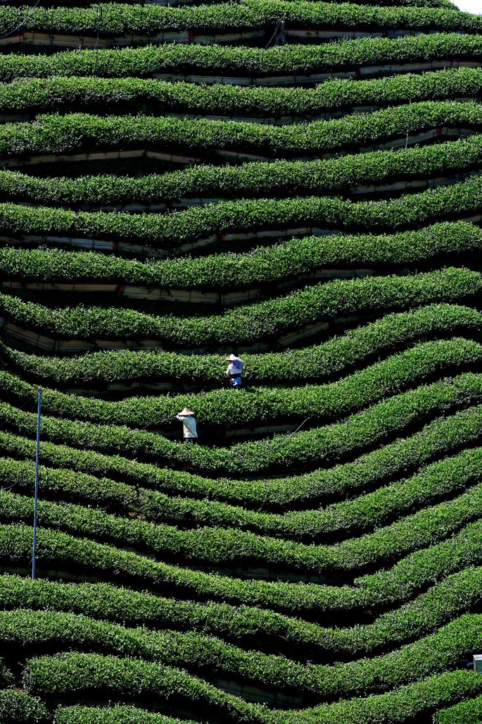 Tea farm, Nantou, Taiwan. For the best of art, food, culture, travel, head to theculturetrip.com. Click http://bit.ly/CultureTripTaiwan for everything a traveler needs to know about a trip to Taiwan.