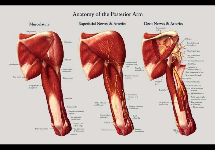 84 best muscle anatomy images on Pinterest   Muscle anatomy, Human ...