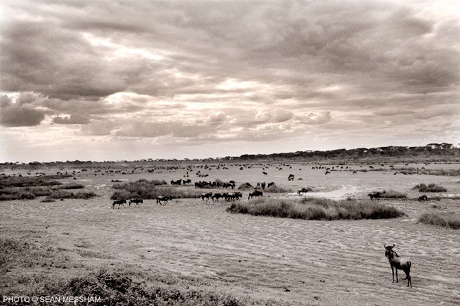 Beautiful dramatic photo of the great migration in the Serengeti by Photographic Journalist Sean Messham