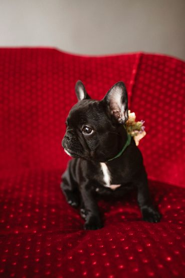 Cute French Bulldog Limited Edition French Bulldog Tee
