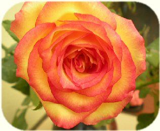 140 best yellow and pink flowers images on pinterest beautiful yellowpink roses google search mightylinksfo Gallery