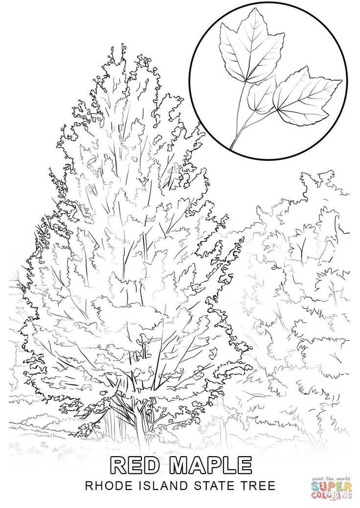 Rhode Island State Tree Coloring Page Free Printable Coloring